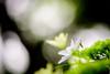 紫陽花 #6ーHydrangea #6 (kurumaebi) Tags: yamaguchi 秋穂 山口市 nikon d750 nature マクロ macro 花 紫陽花 アジサイ hydrangea flower 虫 bug