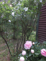 The Air Smelled Amazing That Day (amyboemig) Tags: garden flower june summer spring peony rugosa rose scent