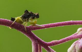 Ambush Bug on Joe Pye Weed