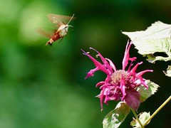 Yesterday in the garden (lovesdahlias 1) Tags: hummingbirdhawkmoth flowers blossoms gardens nature summer newengland