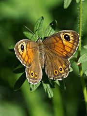 Ariane (JMVerco) Tags: papillon butterfly farfalla macro alittlebeauty