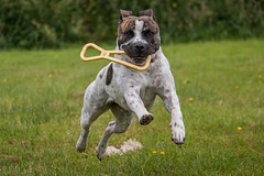 IMG_9565 (DanMarty92) Tags: staffordshirebullterrier crossbreed mastiff playing action toy jump running puppy petphotography