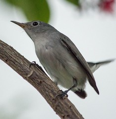 Afternoon Arrival (ACEZandEIGHTZ) Tags: nikon d3200 tree bluegrey gnatcatcher nature birdwatcher backyard polioptila caerulea coth5 sunrays5