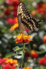 Western Tiger Swallowtail (siamesepuppy) Tags: insect insecto insecte macro bug arthropod arthropoda invertebrate canon7dmkii 100mm entomology california ccattributionlicense mothersgarden westerntigerswallowtail butterfly butterflies lantanaplant