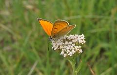 L'Argus Satiné (passionpapillon) Tags: macro insecte papillon butterfly fleur passionpapillon 2018