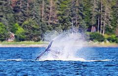Playful whale (die Augen) Tags: whale alaska canon ls2 tail waterscape landscape ocean auke bay juneau