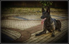 Dutch Herder (IAN GARDNER PHOTOGRAPHY) Tags: dog chien canine hound hund куче hond qen wisha ውሻ alkalb الكلب doggie pooch pas gou 狗 σκύλοσ pies cachorro