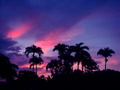... Y los cerdos se apoderan de la revolución... ((La mata de la creatividad)) Tags: atardecer sunset cielo sky palmera palm tree árbol silueta contrast contraste