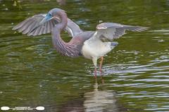Fishing Tricolored Heron (freshairphoto) Tags: wading tricolored heron reflection wings circlebbar reserve lakeland florida artspearing nikon d500 200500 handheld