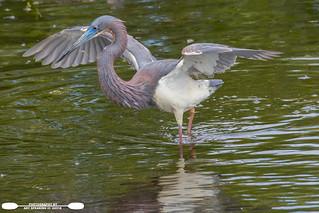 Fishing Tricolored Heron