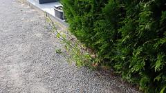 Végétation au cimetière de Verberie