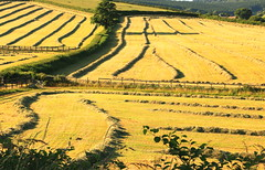 Fields Of Gold (acwills2014) Tags: countryside grasses hay cut fields patterns fences gates crops patchwork