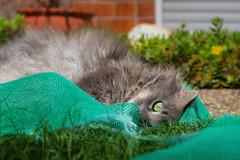 Cat in a net (FocusPocus Photography) Tags: fynn fynnegan katze kater cat chat gato tier animal haustier pet netz net rasen lawn gras grass garten garden