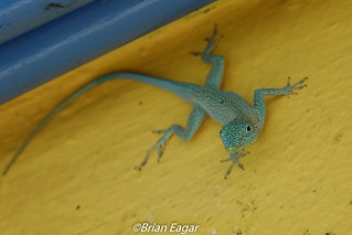 Grand Cayman Anole-00214