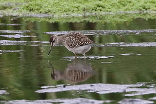 Wood Sandpiper - first sighting
