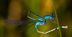 7K8A7178 (rpealit) Tags: scenery wildlife nature horseshoe lake slender bluets bluet tandem damselfly
