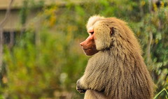 The Thinker (ArmyJacket) Tags: primate baboon sandiegozoo zoo wildlife city animals travel sandiego california usa