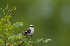 """""""Bear with me"""" (rob.wallace) Tags: spring 2018 shenandoah national park chestnutsided warbler"""