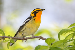 Blackburnian Warbler (jt893x) Tags: 150600mm bird blackburnianwarbler breeding d500 jt893x male nikon nikond500 setophagafusca sigma sigma150600mmf563dgoshsms songbird warbler thesunshinegroup coth alittlebeauty sunrays5 coth5