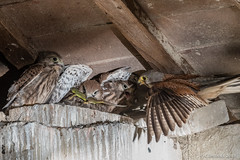 Adult Kestrel (Falco tinnunculus) and chicks with a prey. (Ciminus) Tags: naturesubjects aves ornitology nature ciminus birds ciminodelbufalo falcotinnunculus kestrel uccelli oiseaux nikond500 gheppiocomune wildlife ornitologia afsnikkor500mmf4gedvrii alittlebeauty coth coth5