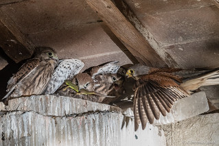 Adult Kestrel (Falco tinnunculus) and chicks with a prey.