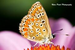 IMG_6201 (nitinpatel2) Tags: butterfly macro nature nitinpatel