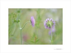 Adiós primavera, adiós (E. Pardo) Tags: flores flowers blumen colores colors farben frühling primavera spring pradera wiese meadow steiermark austria