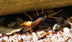 Hornet? (artanglerPD) Tags: insect yellow black stripes flying