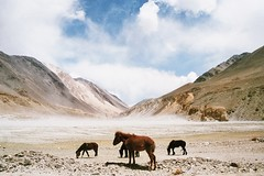 . (Careless Edition) Tags: photography film nature landscape india ladakh horse