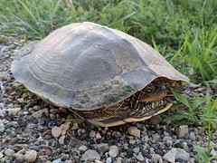 Northern Map Turtle (U.S. Fish and Wildlife Service - Midwest Region) Tags: turtle mapturtle animal wildlife minnesota mn spring june 2018 uppermississippiriver nationalwildliferefuge nationalwildlifeandfishrefuge refuge nwr nwfr