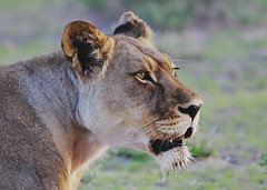 Lioness Portrait (Susan Roehl) Tags: botswana2013 centralkalaharigamereserve botswana southernafrica lion lioness pantheraleo animal mammal predator carnivore muscular deepchested liveinprides apex keystonespecies sometimesscavenge grasslands savannahs vulnerable declined43percentsincethe1990s habitatloss conflictwithhumans sueroehl photographictours naturalhabitatadventures pentaxk3 sigma150500mmlens handheld cropped coth5 ngc npc