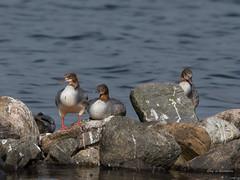 Gänsesäger (wernerlohmanns) Tags: wildlife wasservögel natur outdoor ostsee sigma150600c schlei schleswigholstein balticsea nikond7200 naturpark entenvögel gänsesäger