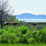 Wild Horses of Assateague Island thumbnail