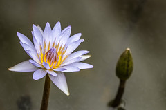 everything that has a beginning, must have an end (Paul Wrights Reserved) Tags: lotus lotusflwer pond pondflower liilypondflower waterflower petal petals stamen bud bloom blooming dying end life colour vibrant contrast bokeh beautiful closeup