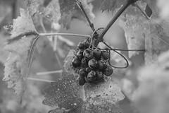 Grapes (Inka56) Tags: grapes fruitsinbw 7dwf bokeh bw monochromebokeh monochrome blackandwhite fruit leaves vineyard crazytuesdaytheme hmbt