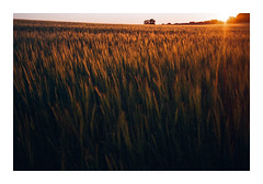 Fields of June - Yashica T3 (magnus.joensson) Tags: sweden swedish skåne field summer june yashica t3 tessar 35mm carl zeiss fuji industrial 100 c41 sunset