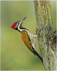 Black-rumped Flameback Woodpecker (Aravind Venkatraman) Tags: av aravindvenkatraman birds birdsofindia indianbirds blackrumped flameback woodpecker blackrumpedflamebackwoodpecker dinopium benghalense dinopiumbenghalense aravind avphotography avfotography avaineyescom bird birdphotography birder birdphotographer birding birdsindia birdwatching india indiabirds indian incredibleindia indianbird