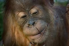 Orang-Utan Nachwuchs (Roman Achrainer) Tags: orangutan affe tierpark hellabrunn tier natur münchen zoo achrainer