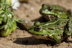 Frosch  / frog (3) (Ellenore56) Tags: 12082018 frosch frösche frog frogs lurch wasserfrosch grünfrosch teichfrosch pelophylax rana amphibian amphibie amphibien wasser water tier animal tiere animals lebewesen creature froggi fauna tierwelt pelophylaxesculentus natur nature emotion detail moment augenblick sichtweise perception perspektive perspective reflektion reflection reflexion farbe color colour licht light inspiration imagination faszination magic magical sonyslta77 ellenore56 sonntag sunday sun sonne