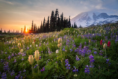 Tahoma's Meadow (Hilton Chen) Tags: paradise mountrainier washington alpinemeadow wildflowers mazamaridge trees sunstar sunset lupines landscape indianpaintbrushes beargrass ashford unitedstates us