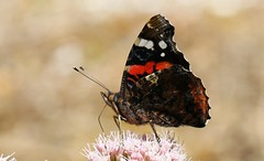 Red Admiral 020818 (2) (Richard Collier - Wildlife and Travel Photography) Tags: wildlife naturalhistory nature insects butterflies macro closeup redadmiral britishinsect british