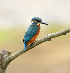 1S9A7086 (saundersfay) Tags: kingfisher bird turquoise feathers orange branch