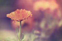 St Kilda Community Gardens 2018-08-11 (5D_32A3040) (ajhaysom) Tags: floral stkilda communitygardens melbourne australia canoneos5dmkiii canon100mmlmacro