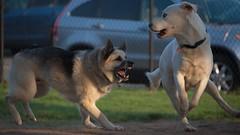 Shepsky and Goberian Playing - Nikon D750 - AFS Nikkor 28-300mm 1:3.5-5.6G VR (divewizard) Tags: nikond750 nikon d750 dslr fx afsnikkor28300mm13556g afs nikkor 28300mm 13556g vr f3556 zoomlens zoom lens 28300mmf3556gvr sb500 nikonsb500 chrisgrossman handsomedog happydog action bigdog blue perro perroblanco perroguapo goberian goldenhusky goldsky whitedog dog whitegoberian elsegundodogpark losangelescounty dogpark elsegundo california heterochromiairidum heterochromia sectoralheterochromia dogsplaying playingdogs playinghard dogsplayinghard fun dogshavingfun shepsky jacob goldenhour