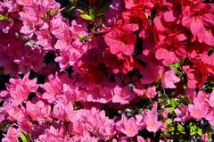 2018-05-08 (7) azaleas (JLeeFleenor) Tags: photos photography md maryland bowie bowiemd outside outdoors flowers flora pink azaleas