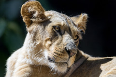 Next lioness portrait (Tambako the Jaguar) Tags: lion big wild cat young female lioness portrait looking side close sunny cute beautiful loroparque tenerife spain nikon d5
