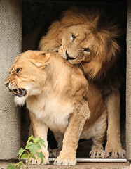 african lion Caesar and Kianga artis JN6A1682 (j.a.kok) Tags: leeuw lion africa afrika afrikaanseleeuw africanlion pantheraleoleo animal artis cat kat mammal zoogdier dier predator caesar kianga