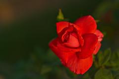 Red Rose (pstenzel71) Tags: blumen natur pflanzen rose rosa flower darktable bokeh