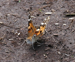 Painted Lady (eric robb niven) Tags: ericrobbniven scotland fowlsheugh painted lady butterfly insects springwatch