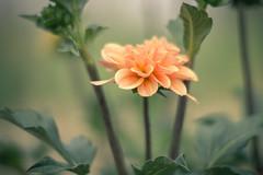 Glowing Beauty (HeiJoWa) Tags: alpha6000 sony ilce6000 closeup macro bokeh blossom blüte dahlia dahlie nature 7dwf flora 7artisans manuallens 55mm14 glowing primelens fantasticflower